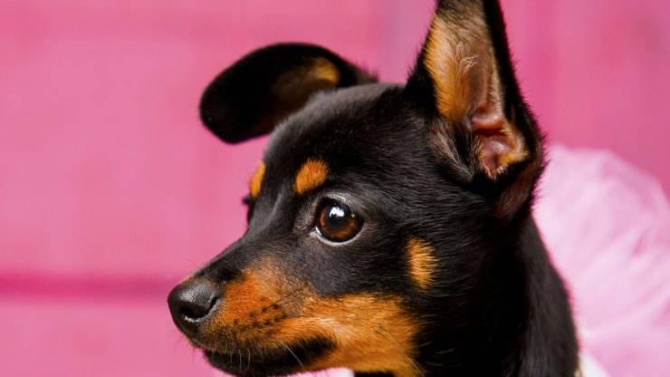 Adottare un Black and Tan Coonhound