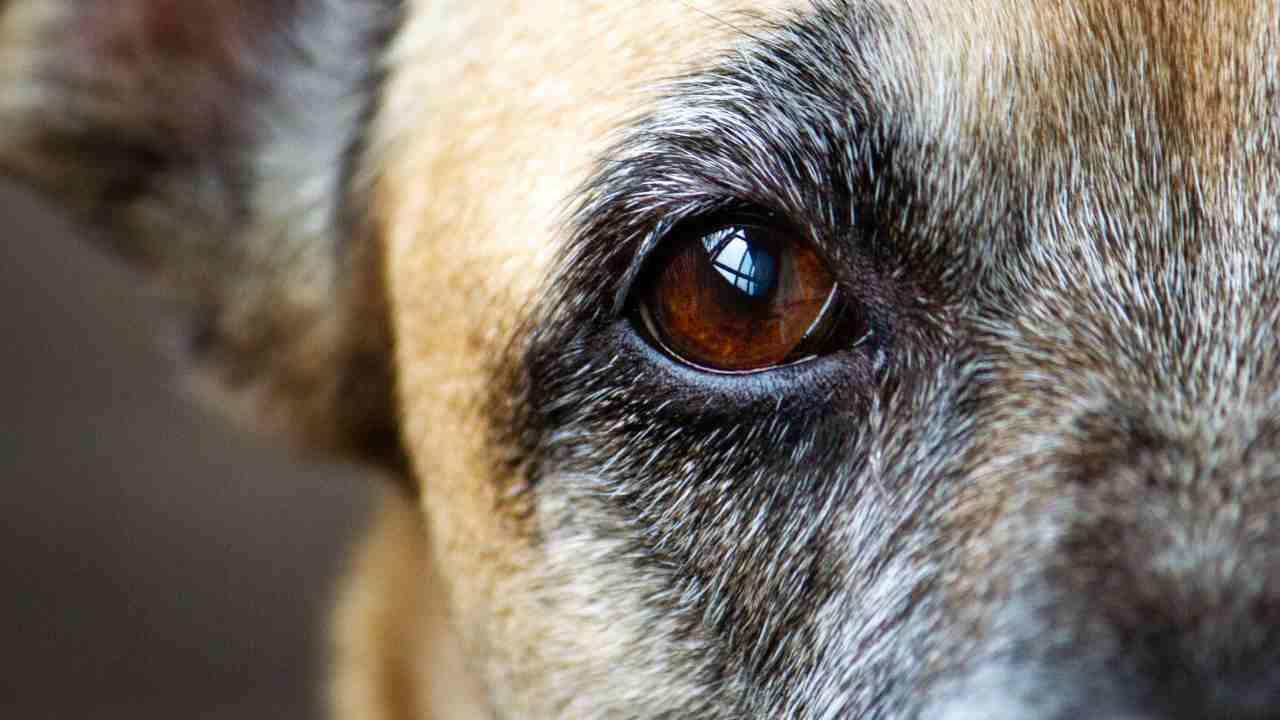 Distrofia corneale nel cane