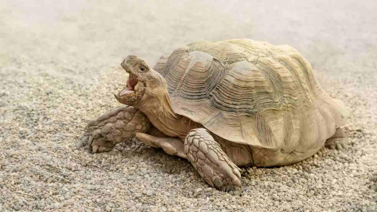 Qual è il peso ideale della tartaruga?