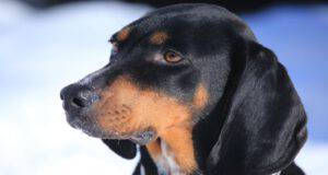 Cura del pelo del Black and Tan Coonhound