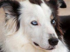 Coloboma dell iride nel cane