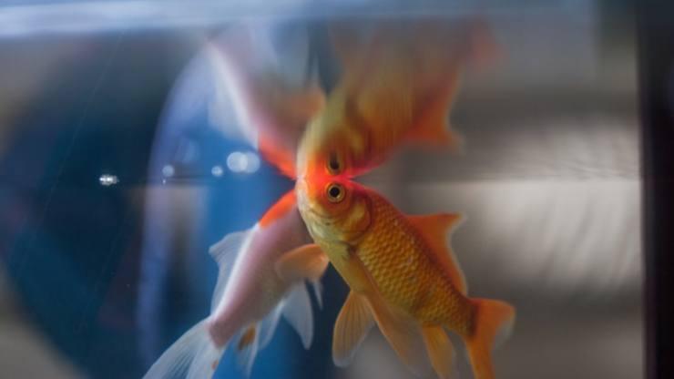 Come salvare il pesce rosso morente