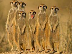 famiglia di suricata