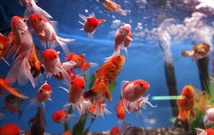Salmonella negli acquari, lo studio che ne ha dimostrato la presenza.