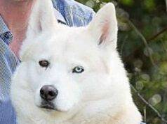 Cane Husky Trova Neonato Cespuglio