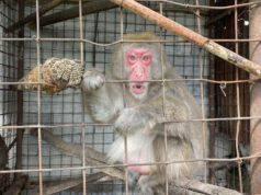 Macaco Giapponese Gabbia Carabinieri