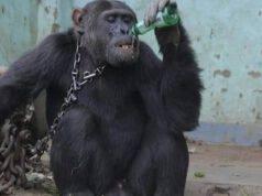 Scimpanzé Tarzan Libero
