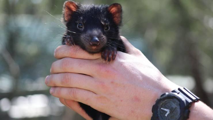 Nati Cuccioli Diavolo Tasmania