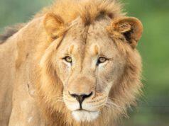Leoni Rischio Estinzione Allarme WWF