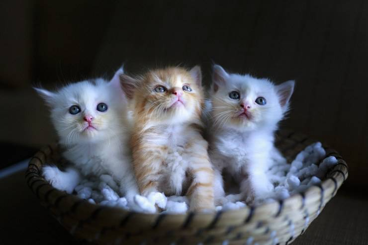 adottare gattini