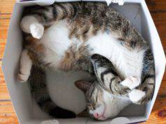 ai gatti piacciono le scatole che non esistono