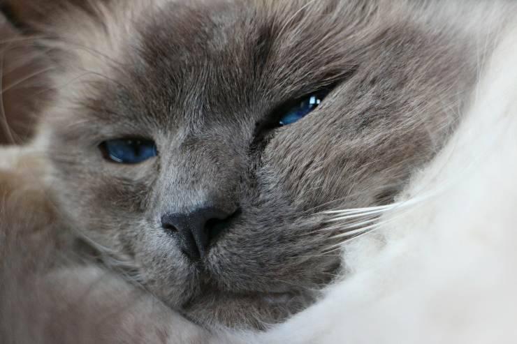 Alimenti del gatto con pancreatite