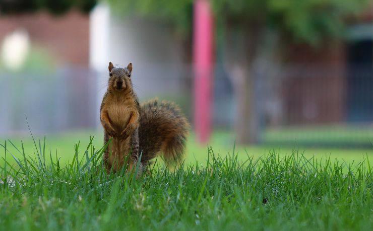 Curare lo scoiattolo