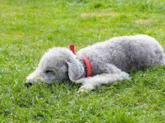 Curiosità sul Bedlington terrier