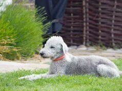 Alimentazione del Bedlington Terrier
