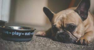 cane può mangiare radicchio
