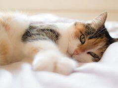 Felino e i calcoli urinari