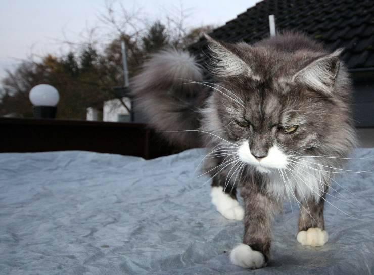 Gatto infeltrito