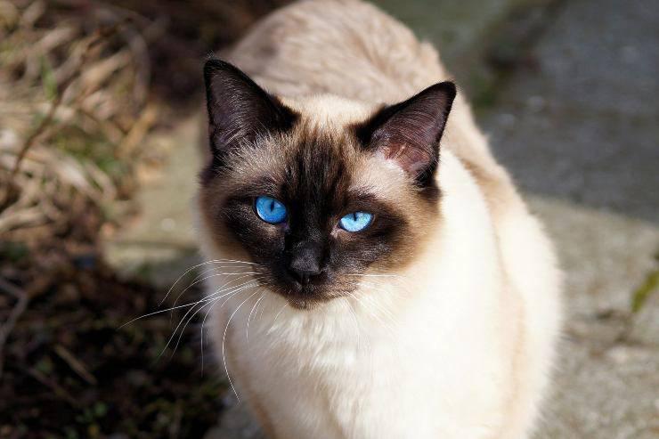 Razze di gatti che non tollerano gli estranei