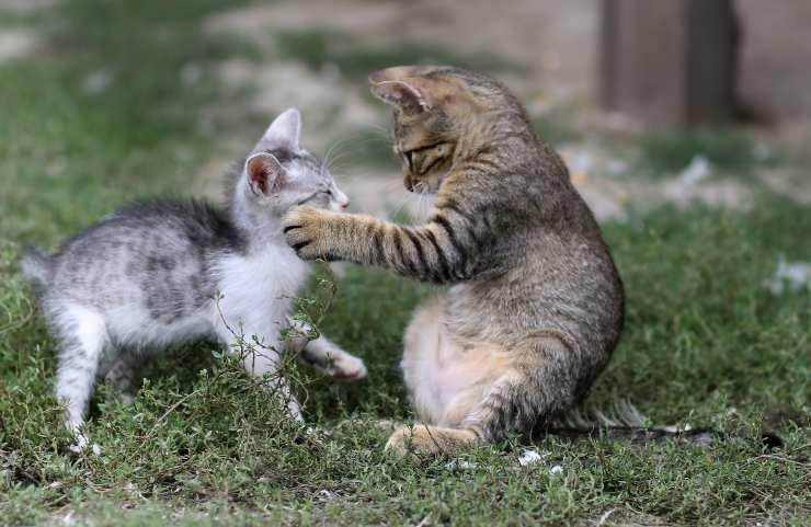 Il gatto insegue altri gatti