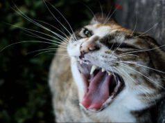 Malocclusione dentale del gatto