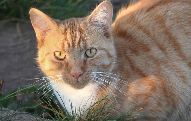 Sguardo felino (Foto Pixabay)