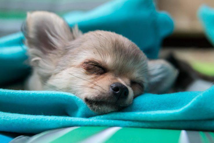 Avvelenamento da piombo nel cane