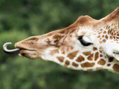 com'è fatta la lingua degli animali