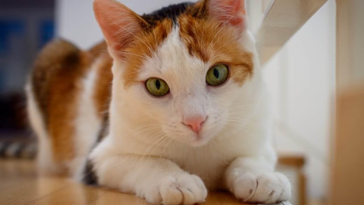 come insegnare al gatto a sdraiarsi