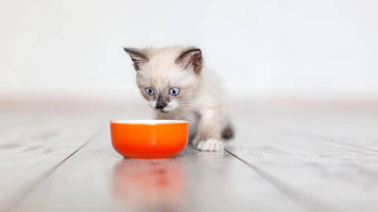 insegnare bere mangiare gatto ciotola