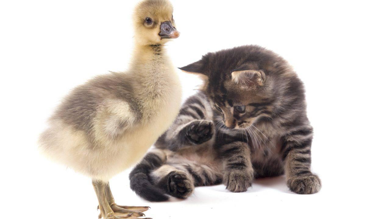 convivenza gatto oca