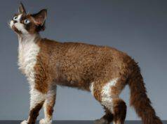 differenza devon rex silkirk