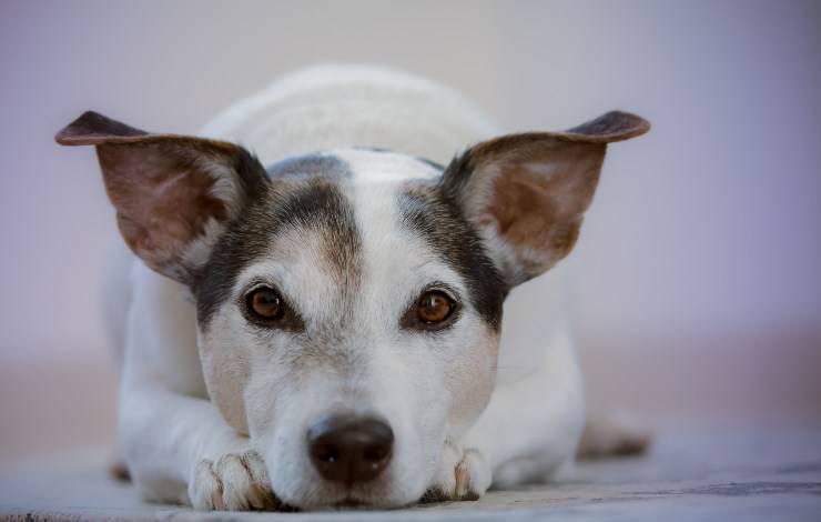 Come incoraggiare il cane malato a mangiare