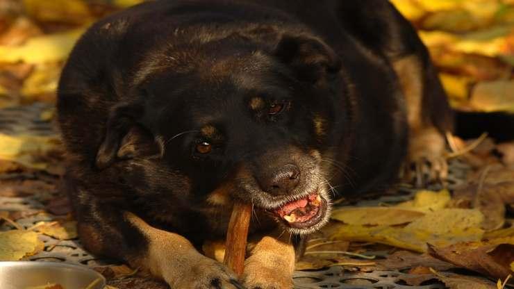 Cibo al cane (Foto Pixabay)