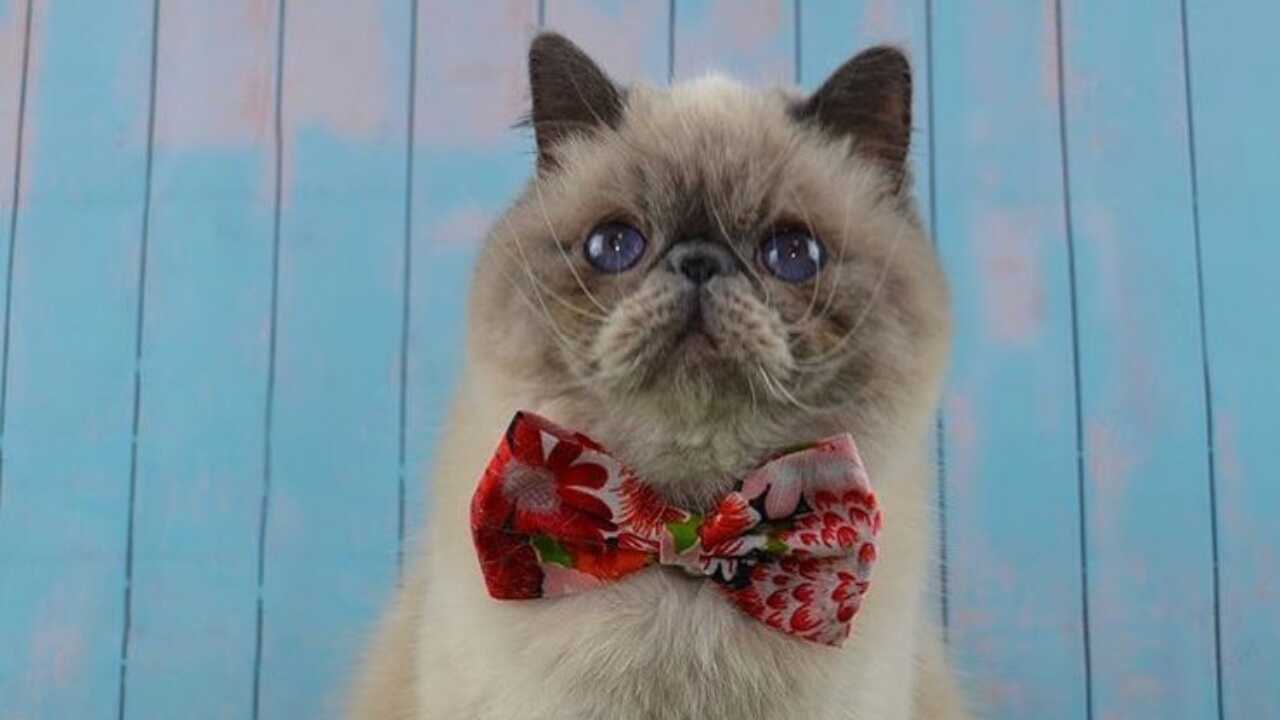 differenza exotic shorthair persiano