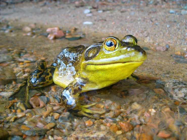 Chitridiomicosi nella rana