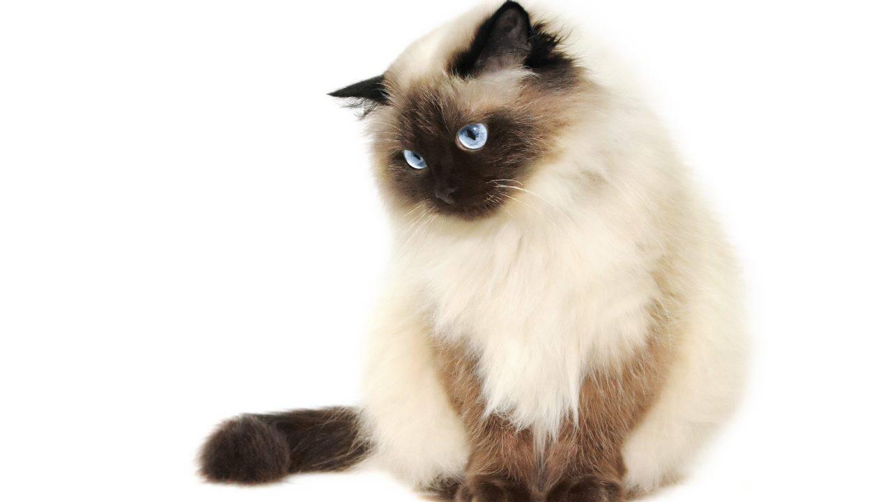 curiosità gatto himalayano (1)