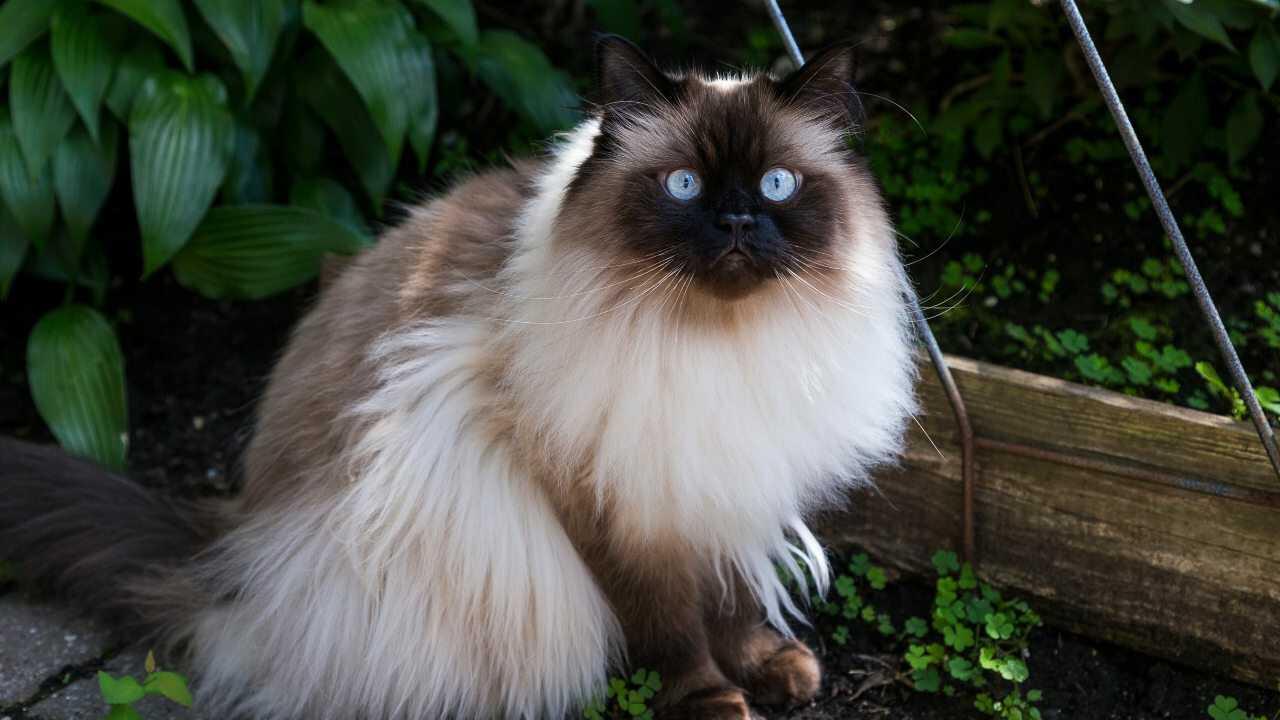 adottare gatto himalayano