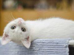 convivenza gatto mucca