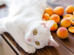 gatto può mangiare albicocche