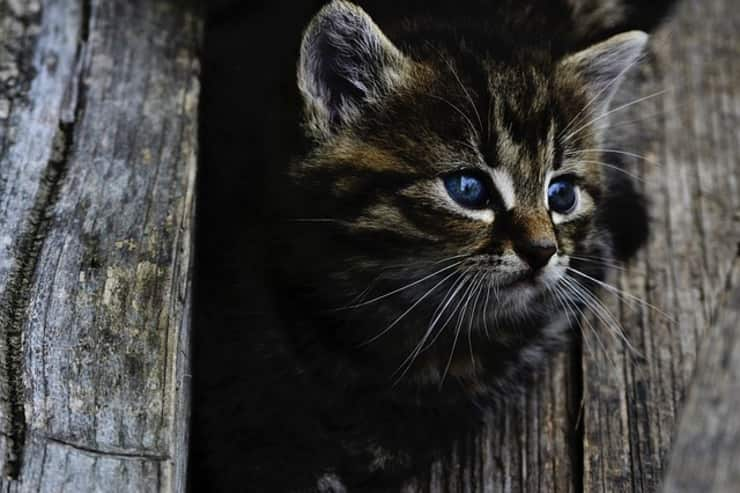gatto (Foto Pixabay)