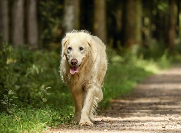 Il cane passeggia