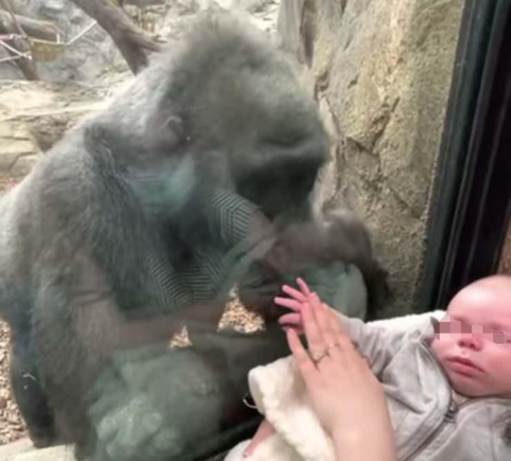 Kiki la gorilla affascinata dal bambino di 5 settimane (Screen Video)