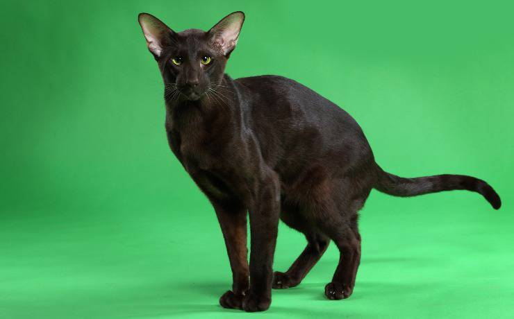 gatto havana brown