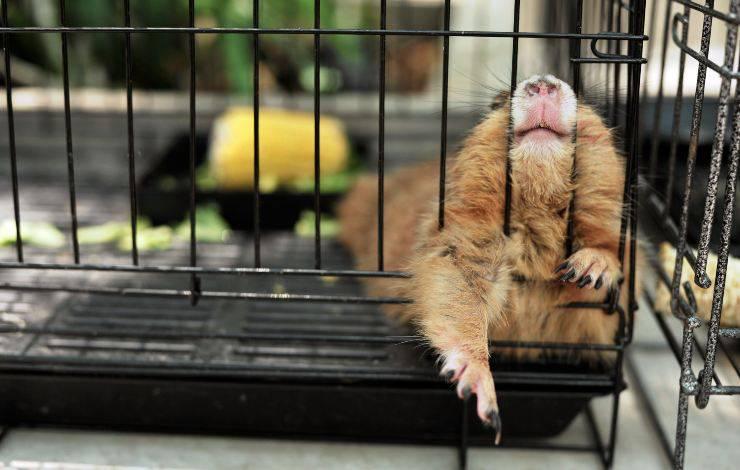 cane della prateria morde la gabbia