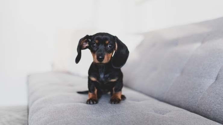 insegnare al cane a non salire divano