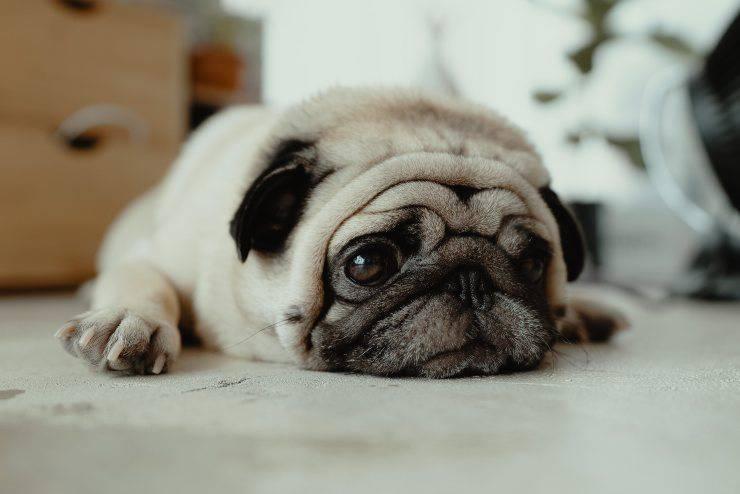 Il trauma al cervello del cane