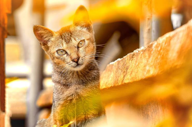 Razze di gatti poco socievoli con gli estranei
