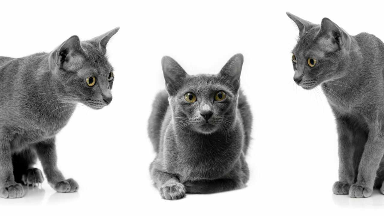 alimentazione gatto korat