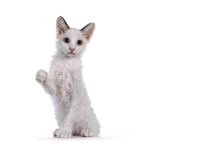 laperm gatto
